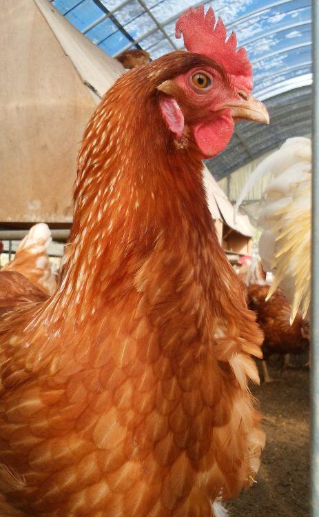 本間農園 鶏